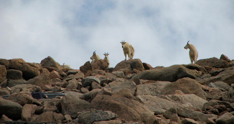 mountain goats near summit of mount evans colorado easy hike