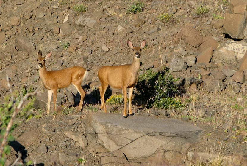 whitetail deer trailside on north table mountain