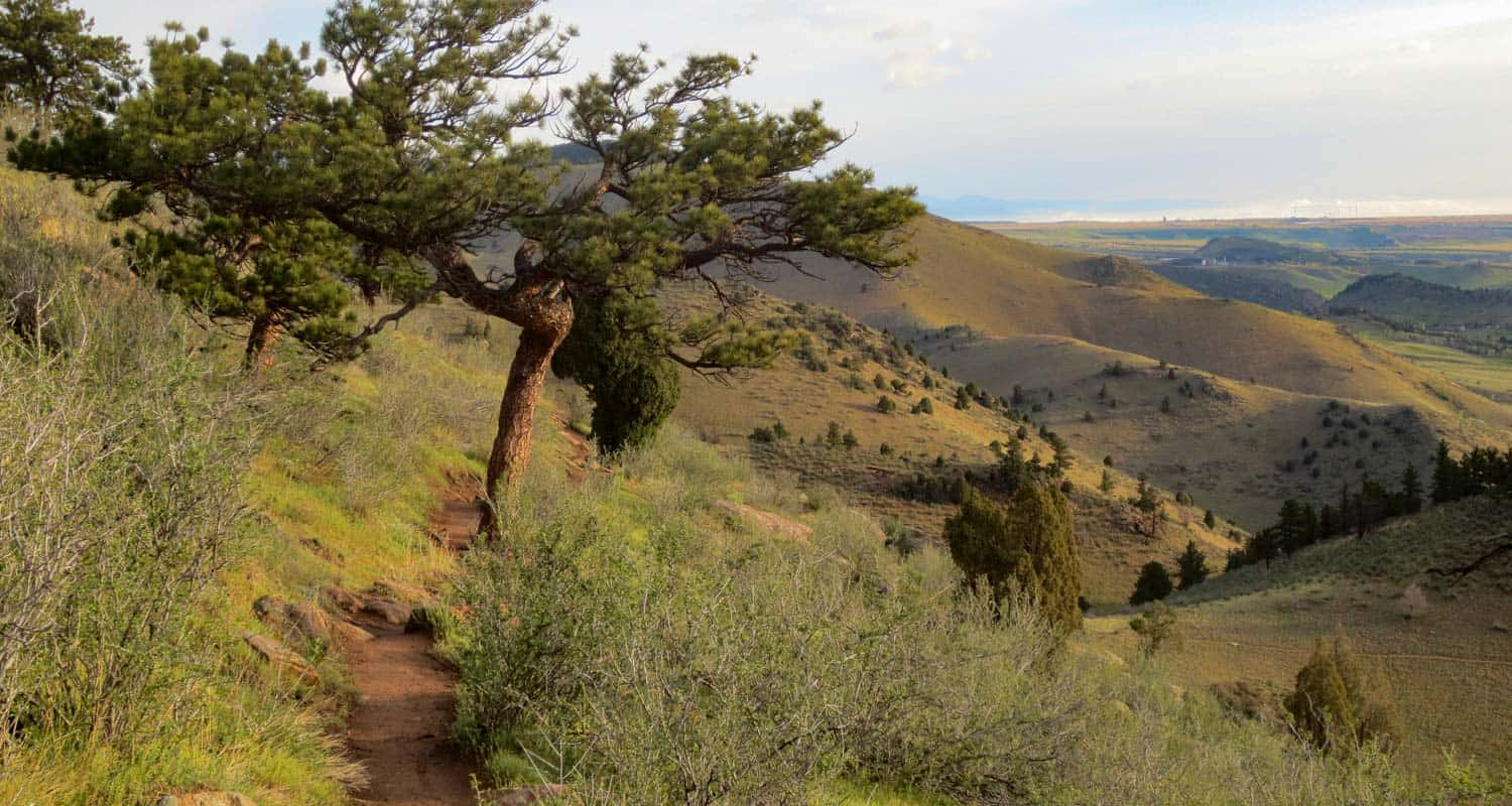 ponderosa pine arched over mt galbraith trail with foothills at sunset near denver hike