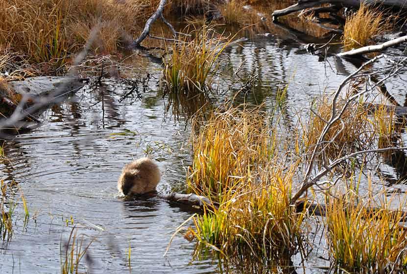 sprague lake loop rocky mountain national park beaver