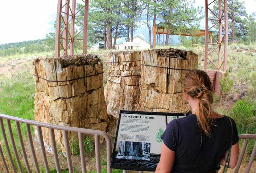 giant trunks of petrified trees along petrified forest loop hike at florissant fossil beds in colorado