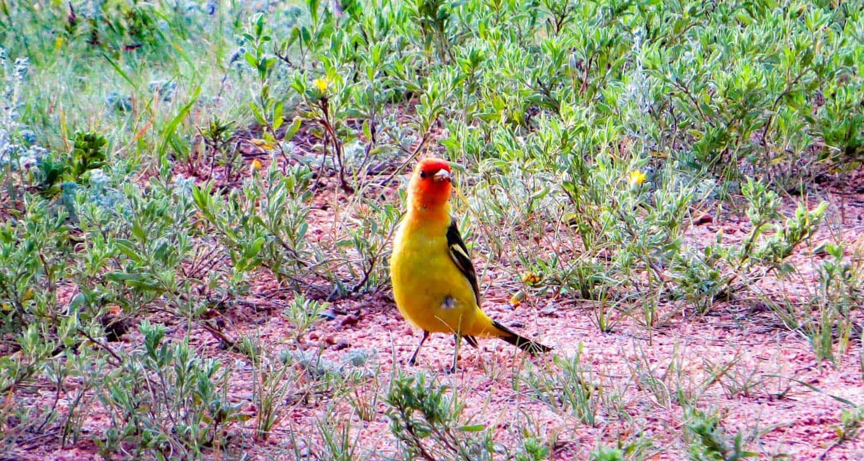 western tanager bird in meadows near manitou lake colorado